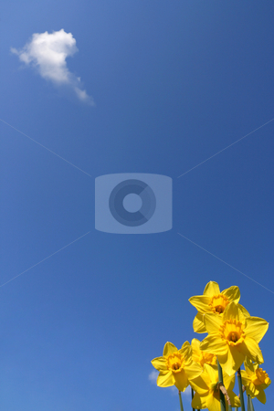 Yellow daffodils stock photo, Daffodils over a  blue sky, and a little cloud by Tilo