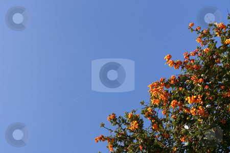 Shrub with red berries stock photo, Shrub with red berries over a shaded blue sky (horizontal) by Tilo