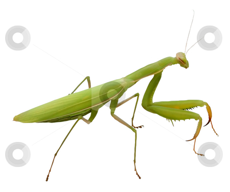 Praying Mantis isolated stock photo, Praying Mantis isolated on white by Tilo