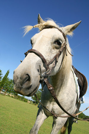 Saddled horse stock photo, Saddled horse with a braid, ready for a ride by Tilo
