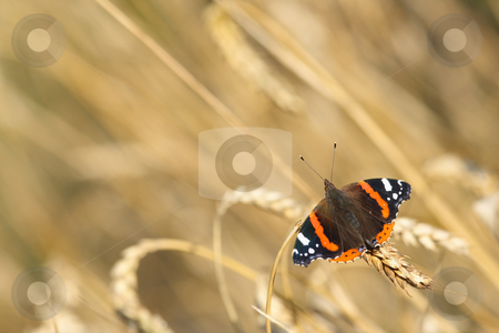 Red Admiral stock photo, Red Admiral butterfly (Vanessa atalanta) on an ear of wheat by Tilo