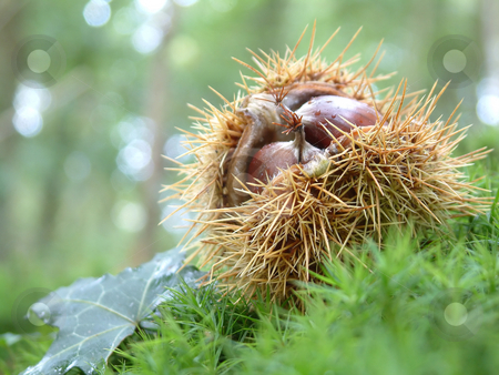 Chestnuts stock photo, Chestnuts in the woods, photo taken in Brittany, France. by Tilo