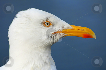 Seagull profile stock photo, Macro of a seagull's head by Tilo