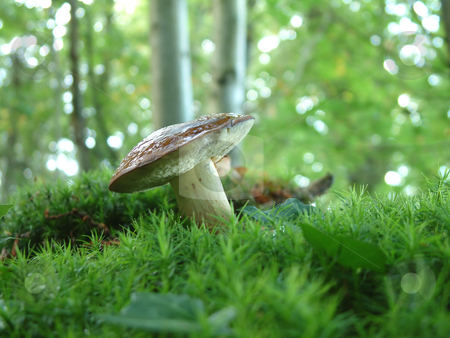 Boletus badius stock photo, Boletus in the woods, a very tasty mushroomon on the moss, in Brittany, France by Tilo