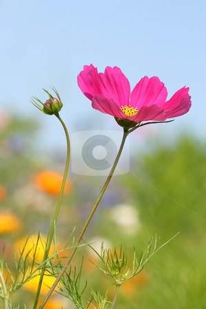 Magenta flower stock photo, Magenta flower standing out from the crowd by Tilo
