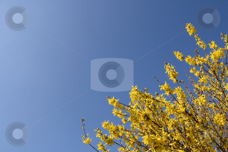 Yellow Forsythia stock photo, Forsythia over a shaded blue sky (horizontal) by Tilo