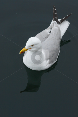 Swimming Seagull  stock photo, Swimming Seagull by Tilo