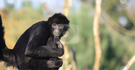 Staring Colombian Spider Monkey stock photo, Colombian Spider Monkey (Ateles fusciceps robustus), endangered species by Tilo