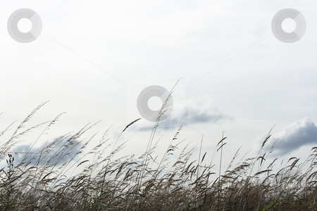 Backlighted grass stock photo, Backlighted grass with a white sky background (hz) by Tilo