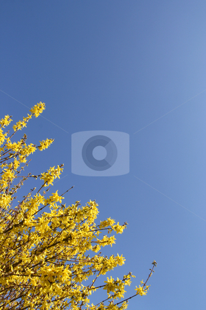 Yellow Forsythia stock photo, Forsythia over a shaded blue sky (vertical) by Tilo