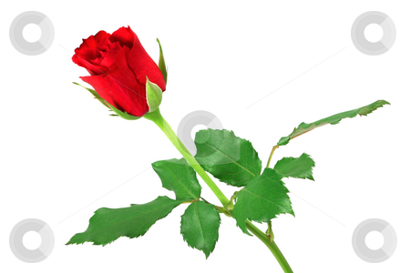 Red rose isolated on white stock photo, Red rose isolated on white by Tilo