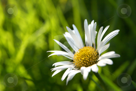First daisy horizontal stock photo, Single daisy in the grass, copy space in the blurry background by Tilo