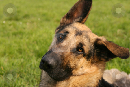 Ascot stock photo, German shepherd with a so sad looking by Tilo