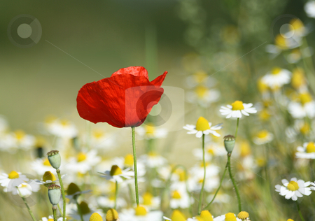 Lonesome Poppy stock photo, Lonesome Poppy, with a swallow depth of field by Tilo