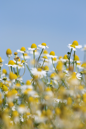 Daisies stock photo, Daisies, with a swallow depth of field by Tilo