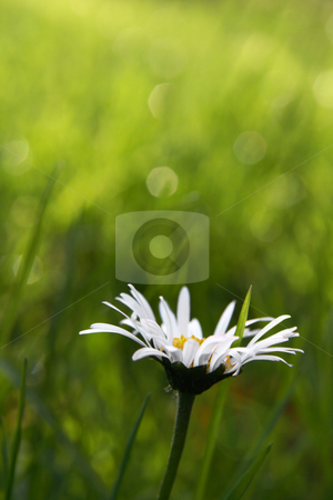 First daisy stock photo, Single daisy in the grass, copy space in the blurry background by Tilo