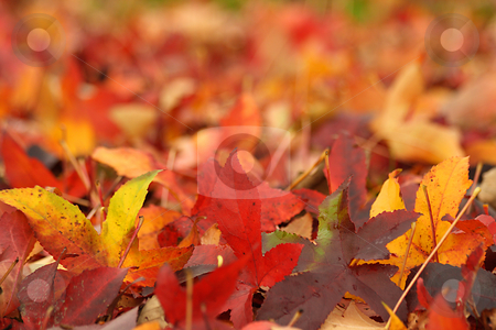 Maple Leaves stock photo, Autumn Maple leaves on the ground, swallow depth of field by Tilo