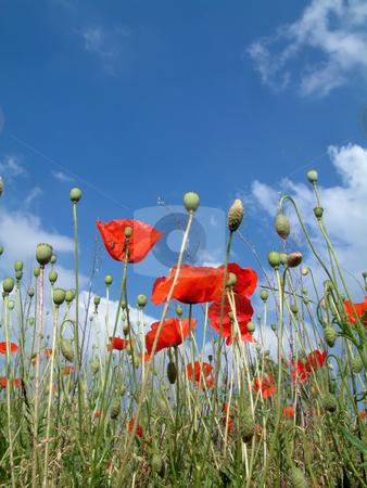 Poppies In A Field stock photo, Red poppies In A Field, with a blue sky by Tilo