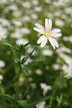 Stellaria holostea stock photo, Stellaria holostea, small spring flower in the country side. by Tilo