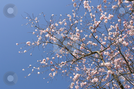 Tree in blossom stock photo, Beautiful tree in blossom, against a blue sky (horizontal) by Tilo