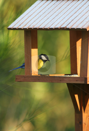 Great tit in his house stock photo, A great tit looking for food in winter by Tilo