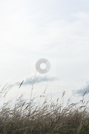 Backlighted grass stock photo, Backlighted grass with a white sky background (vl) by Tilo