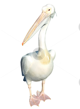 Pelican isolated stock photo, White pelican isolated, picture taken in London by Tilo