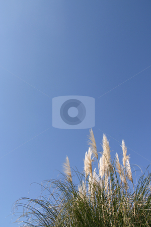 Pampas grass stock photo, Pampas grass (Cortaderia selloana) over a shaded blue sky (vertical) by Tilo