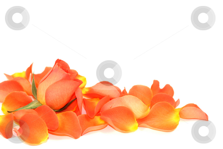 Rose over petals stock photo, Rose and petals isolated on white by Tilo