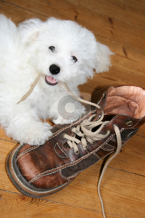 Naughty puppy stock photo, Naughty puppy eating shoelaces (bichon frise) by Tilo