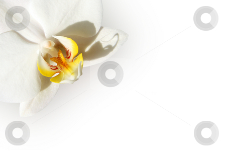 White orchid card stock photo, White orchid isolated on a white background by Tilo