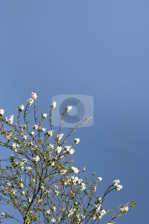Shrub with white flowers stock photo, Shrub with white flowers over a shaded blue sky (vertical) by Tilo