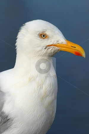 Seagull profile stock photo, Macro of a seagull by Tilo