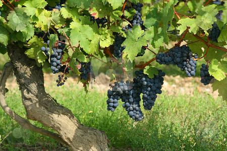 French winery with red grapes stock photo, Black grapes in a french winery by Tilo