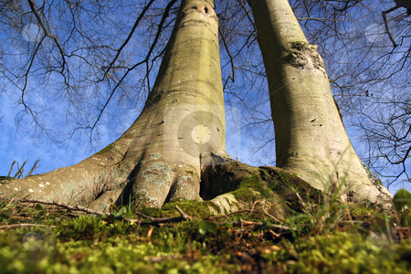 From the roots stock photo, Two big trees from the roots, in wide angle by Tilo