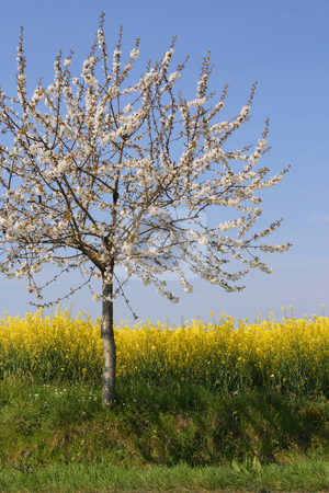 Absolutely spring stock photo, Apple tree in blossom beside a rape field (vertical) by Tilo