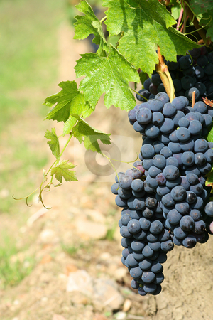 Black grapes detail stock photo, Black grapes detail, with a blurry background by Tilo