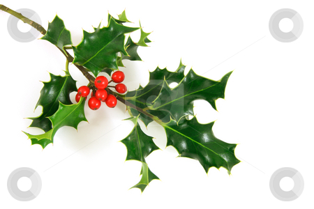Holly stock photo, Holly branch, over a white background by Tilo
