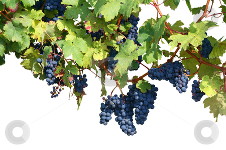 Vineyard isolated on white stock photo, Vineyard background isolated on white, clipping path included by Tilo
