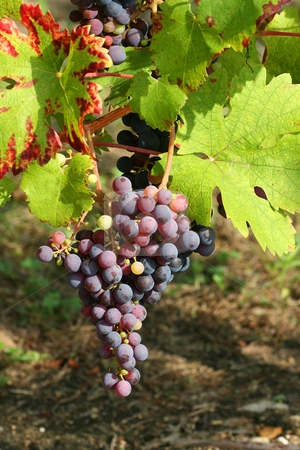 Purple grapes detail stock photo, Purple grapes detail, with a blurry background by Tilo