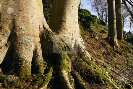 By the roots stock photo, Two big trees by the roots, in wide angle by Tilo