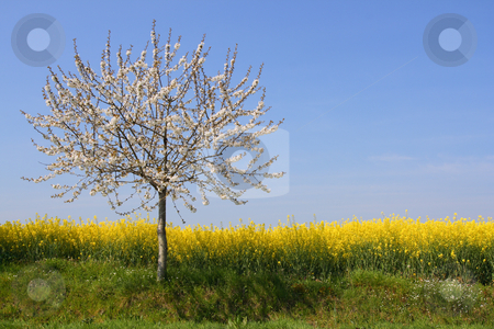 Absolutely spring stock photo, Apple tree in blossom beside a rape field (horizontal) by Tilo