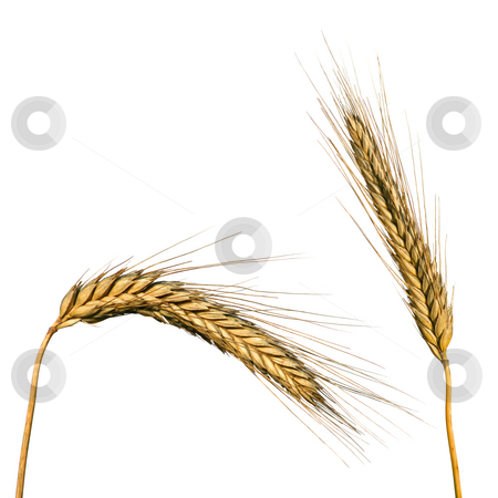 Wheat isolated on white stock photo, Two ears of wheat isolated on white by Tilo