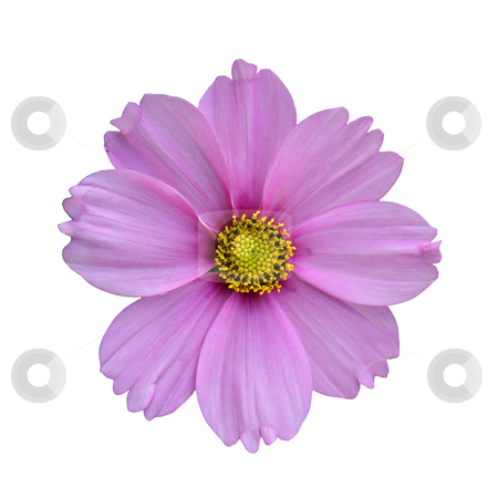 Purple flower stock photo, Purple flower isolated on white, with yellow heart by Tilo