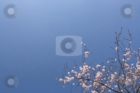 Shrub with pink flowers stock photo, Shrub with pink flowers over a shaded blue sky (horizontal) by Tilo