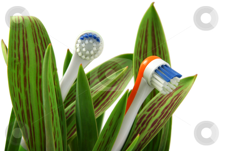 Natural care stock photo, Toothbrushes growing like flowers, over white (horizontal), clipping path included by Tilo