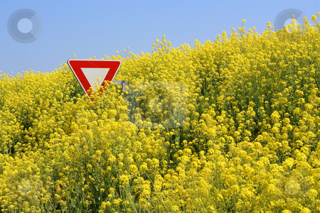 Stop aux OGM - Stop GMO stock photo, Champs de colza d?bordant sur la route en Bretagne, submergeant un panneau stop - Overflowing rape field in Brittany, immersing a stop sign by Tilo
