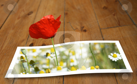 Looming Poppy stock photo, Poppy looming from a printed photo paper, on the floor by Tilo