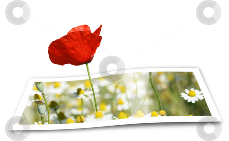 Looming Poppy stock photo, Poppy looming from a printed photo paper, over white by Tilo