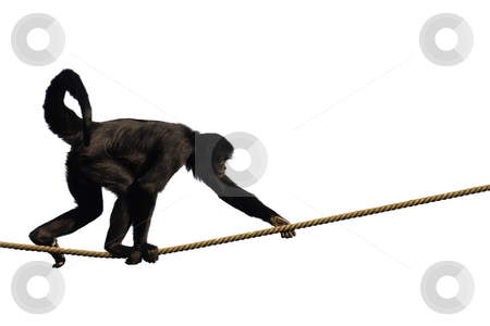 Climbing Monkey stock photo, Colombian Spider Monkey, climbing on a rope, isolated on white by Tilo